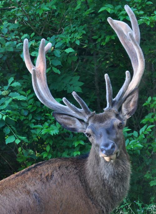 Buck in the Jura Mountains, France